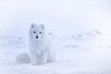 бяло, Фокс, животните, дива природа, сняг, зимни, студена температура