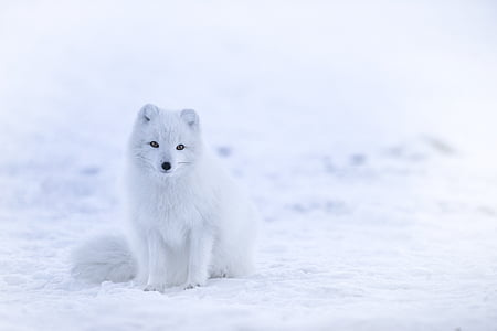 white, fox, animal, wildlife, snow, winter, cold temperature