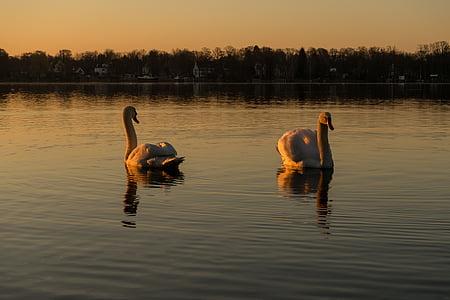 gulbis, ūdens, ezers, ūdens putnu, putns, balta, baltais gulbis