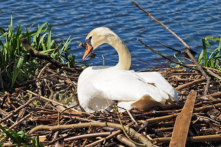 swan, nest, nature, breed, swan's nest, animal, hatch