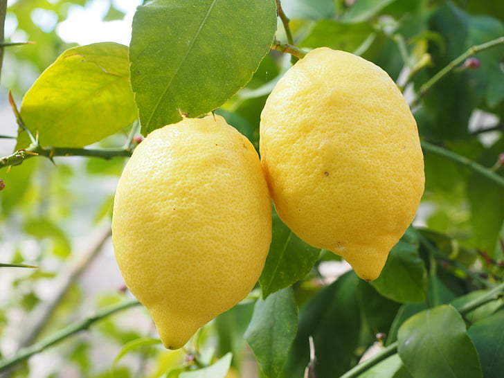 lemon, limone, lemon tree, citrus × limon, citrus, fruit, tropical fruit