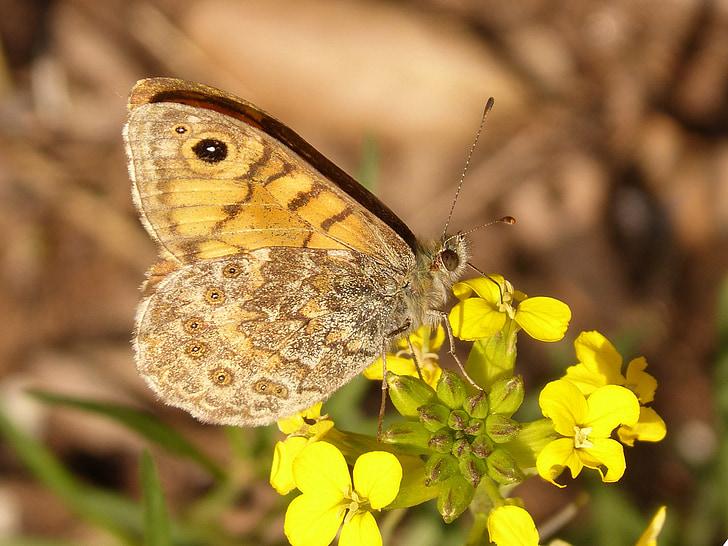 metulj, cvet, oranžna, sredozemski, metulj monarh