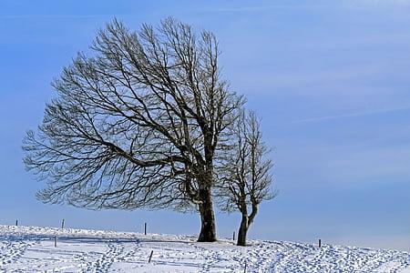 wintry, cây, sồi, Gió buche, mùa đông, tuyết, lạnh