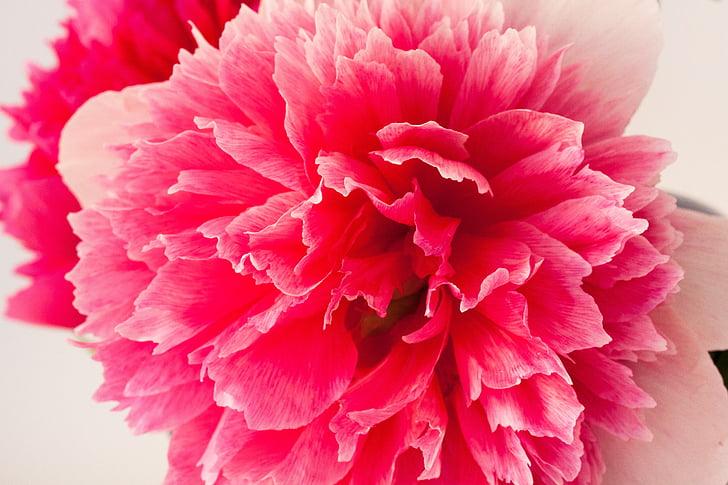 Peònia, Pentecosta, natura, primavera, flor, flor, flor