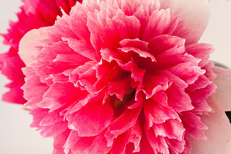 pivónia, Turíce, Príroda, jar, kvet, kvet, kvet