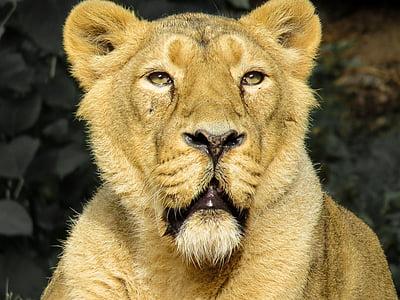 lion, predator, cat, zoo, nuremberg, lioness, close