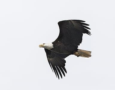 hüppeliselt, lind, Raptor, lennu, Flying, looduslike, Wildlife