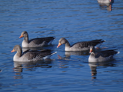 hanhet, Lake, Luonto, lintu, hanhi, eläinten, Wildlife