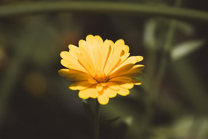 Cveće - Page 21 Marigold-calendula-officinalis-flower-yellow-preview