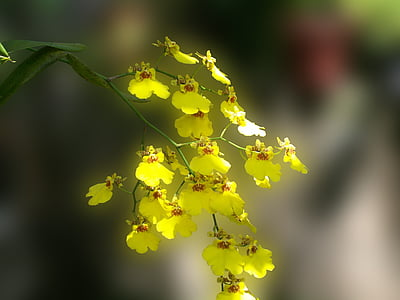 lilled, orhideed, kollane, Aed, loodus, kasvatamine, Delikatess