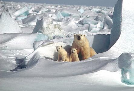 mother, cubs, white, arctic, snow, ice, wildlife