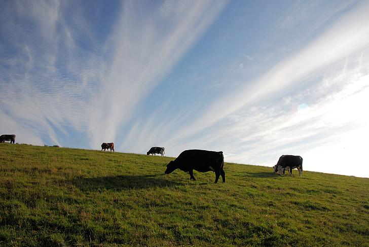 bestiar, les pastures, pasturatge, vaques, cel, núvols, paisatge