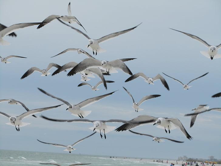 lokkien, Linnut, Flying, sininen, taivas, harmaa, harmaa