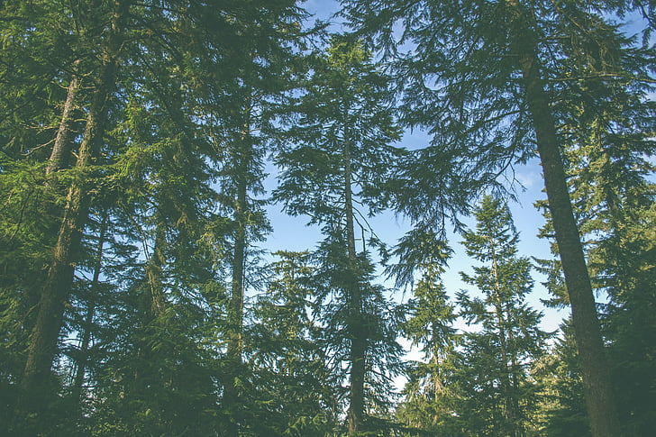 fir trees, forest, nature, trees, woods, tree, pine tree