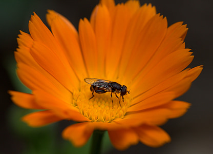 bee, flower, calendula, orange, insecta, pollen, garden