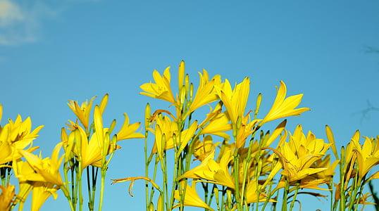 kollane, lill, lilled, Sun flower, taim, loodus, suvel