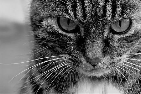 Katze, Haustier, Tier, Tiger cat, Hauskatze, Katzenaugen, Schnurrbart