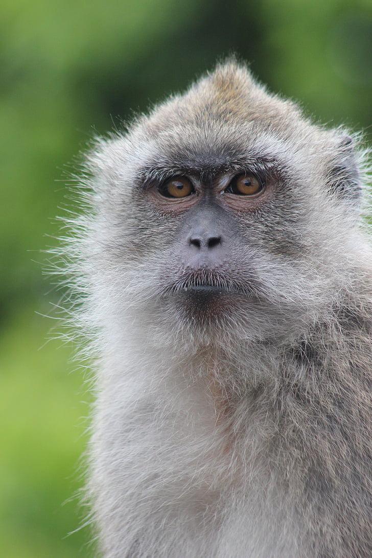 маймуна, Портрет, природата, животните