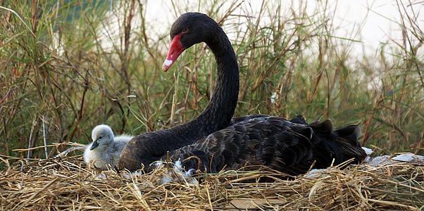 black, swan, chick, breeding, myanmar