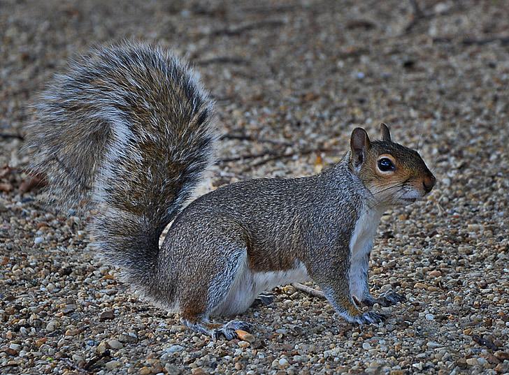 siva vjeverica, slatka, glodavaca