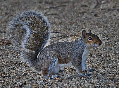 esquirol gris, valent, rosegador