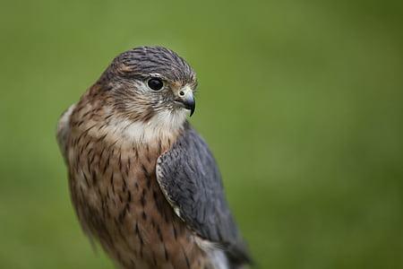 bird, merlin, wildlife, falcon, raptor, hawk, ornithology