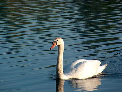 Cigne, animal, ocell d'aigua, natura, ocell, món animal, l'aigua