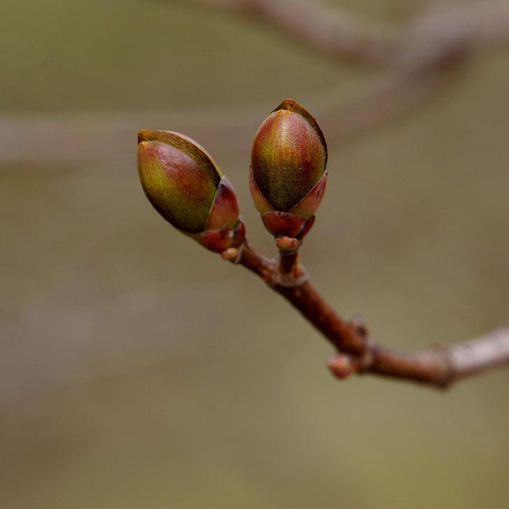 natura, primavera, un nou començament, brots, auró