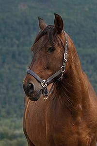con ngựa, ngựa, bay mare, chân dung, đầu, da và đồng thau, động vật