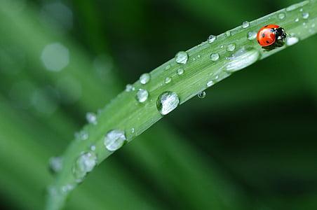biedronka, kropla wody, deszcz, liść, wiosna, kropla rosy, zwierząt