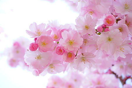 japanese cherry trees, flowers, spring, japanese flowering cherry, ornamental cherry, japanese cherry, cherry blossom