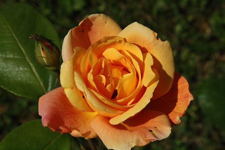 Rosa, flors, flor rosa, taronja, fragància, bonica