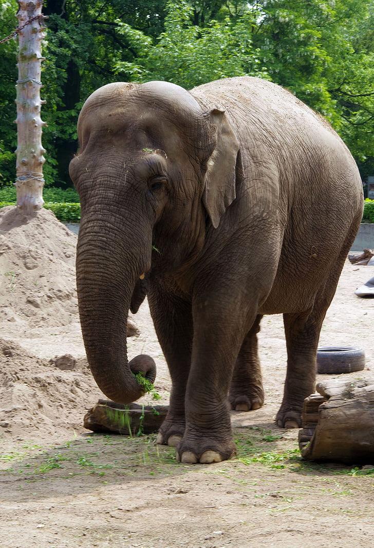 elefant, gran mamífer, Indonèsia, Probòscide, gran, colós, enorme