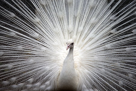 peacock, white, bird, nature, beautiful, feather, vibrant