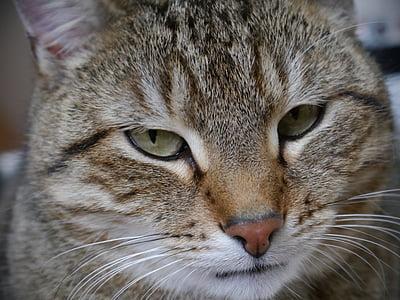 gato, caballa, Tigre gato, gato doméstico, mascota, ojos de gato, ojos