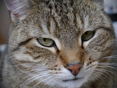 Katze, Makrele, Tiger cat, Hauskatze, Haustier, Katzenaugen, Augen