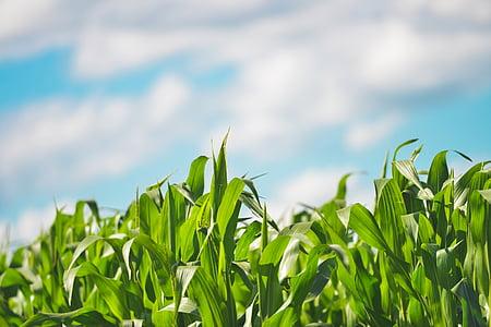 agriculture, cereals, cornfield, farm, field, grain, plants