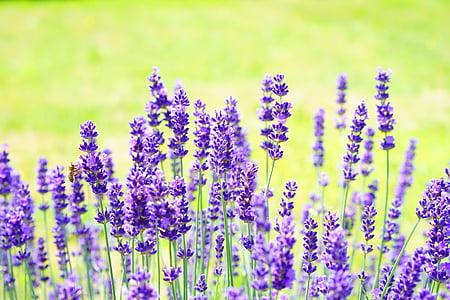lavanda, flors, flor, porpra, violeta, planta, flor d'espígol
