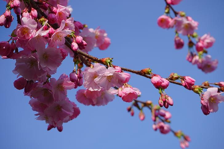 Jaapani Kirsipuud, lilled, roosa, filiaali, Jaapani õitsemise kirss, Dekoratiivne kirss, Jaapani kirss
