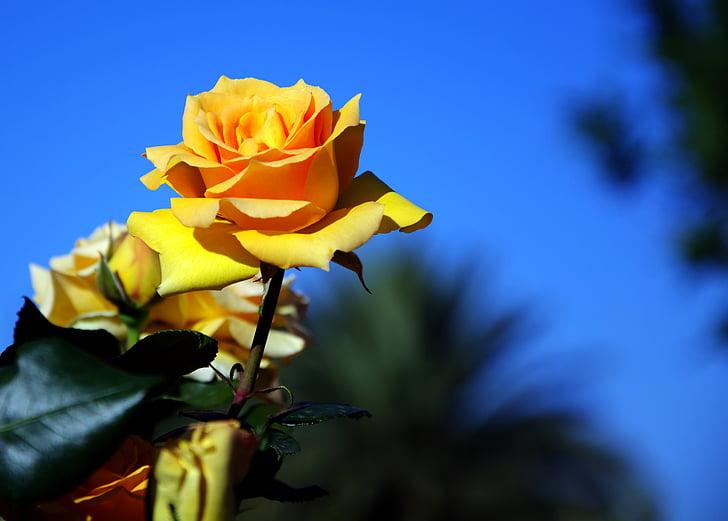 mawar kuning, wangi, mekar, musim semi