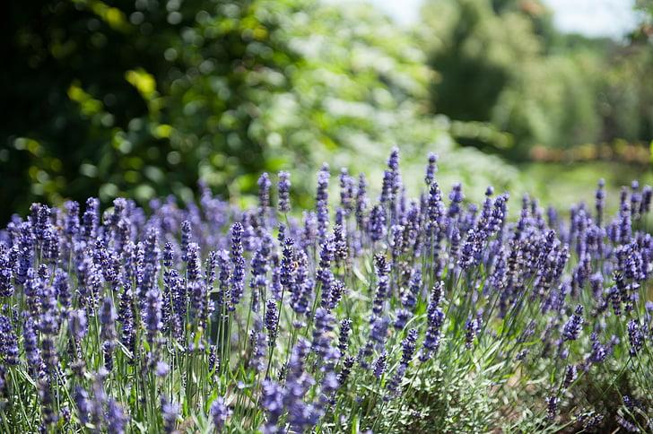 plantes medicinals, plantes, lavanda, jardí, natura