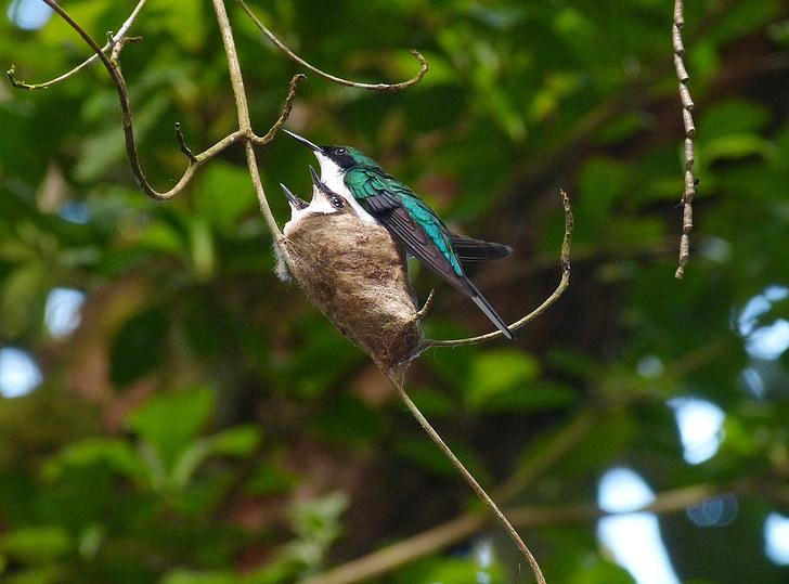 колибри, птица, Коста колибри, цветни, перо, перести, бил
