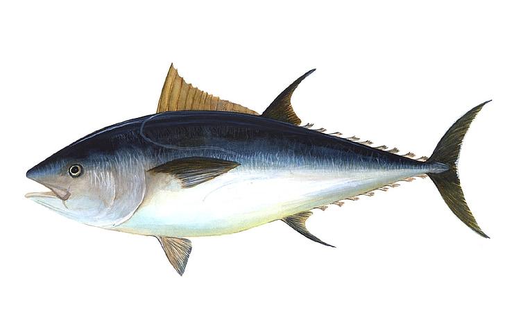 ปลาทูน่า, ปลา, พบปลาทูน่า, ปลา obesus, ปลามหาศาล, วงศ์ปลา, ตกปลา