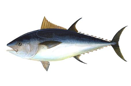 tuna, fish, bigeye tuna, thunnus obesus, predatory fish, thunnus, fishing