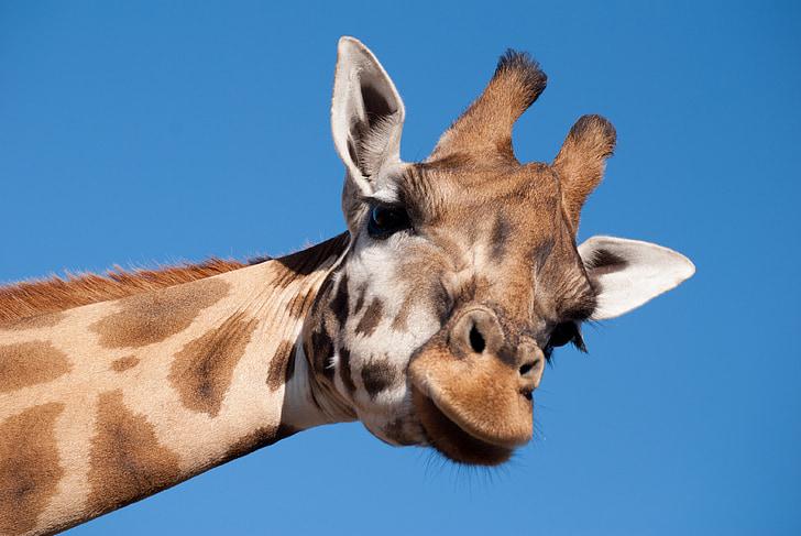 giraffe, long neck, zoo, animal, mammal, beekse bergen, animal world