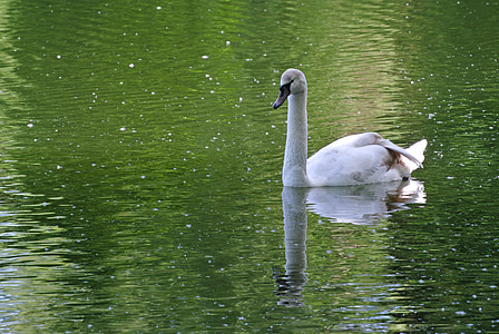 swan, white, animal, nature, swim, waters