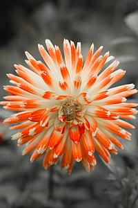 dàlia, flor, flor, planta, jardí de dàlia, tardor, natura