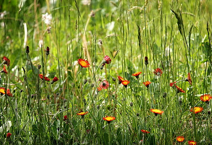 pointed flower, grass, nature, grasses, flowers, meadow, green