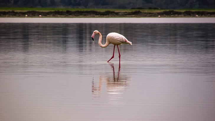flamingo, bird, migratory, nature, animal, pink, wildlife