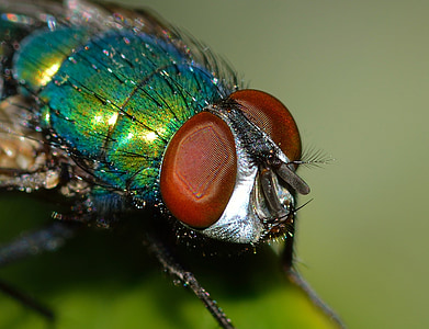 insectes, dípters, Lucilla, sericata